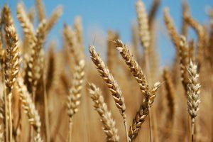 ۱۴۰ هزار هکتار از مزارع آذربایجان غربی زیر کشت گندم پاییزه رفت
